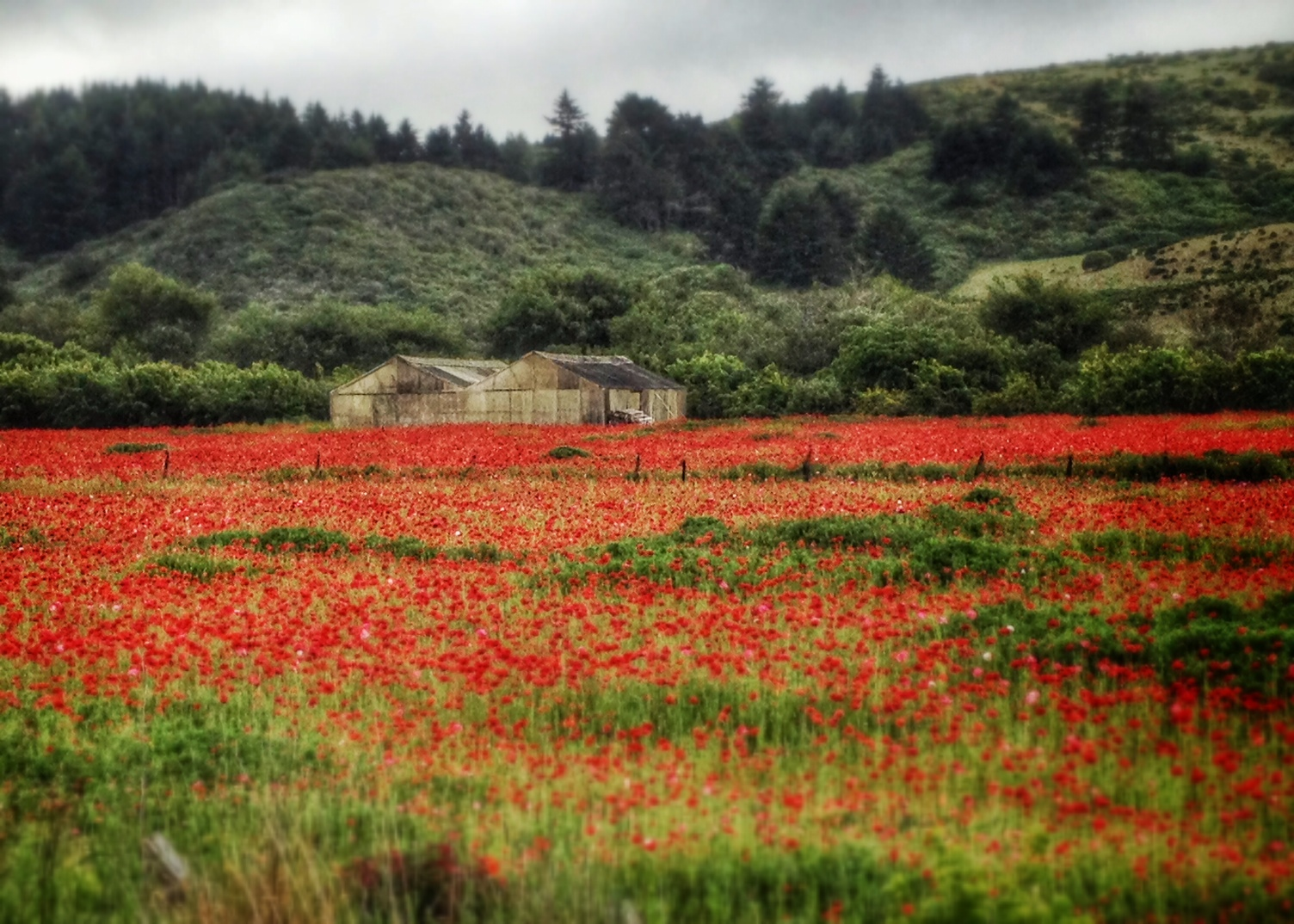 Poppies in California